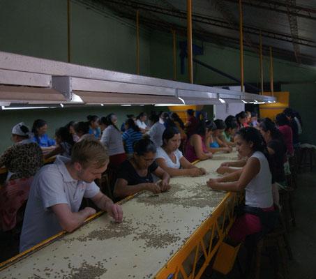 Beim Sortieren des Rohkaffees (Foto: BSOC)
