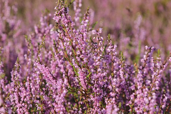 Die Heidebienen sind schon fleißig in der Rehrhofer Heide