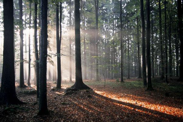 Sonnenstrahlen scheinen durch Wald, Bayrischer Wald, Bayern / chs02385