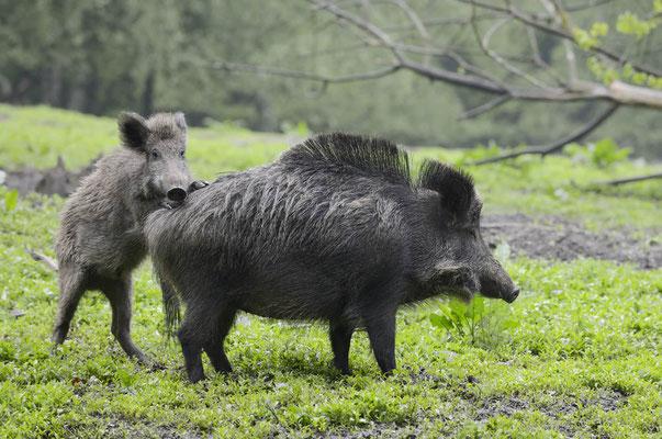 Europäisches Wildschwein (Sus scrofa scrofa) / ch136818
