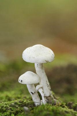 Fichtenschneckling (Hygrophorus piceae) / ch134606