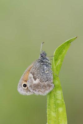 Kleines Wiesenvögelchen (Coenonympha pamphilus) / ch150779