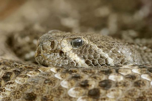 Texas-Klapperschlange oder Westliche Diamant-Klapperschlange (Crotalus atrox) / ch113942