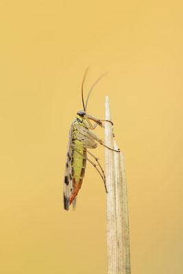 Gemeine Skorpionsfliege (Panorpa communis) / ch181597