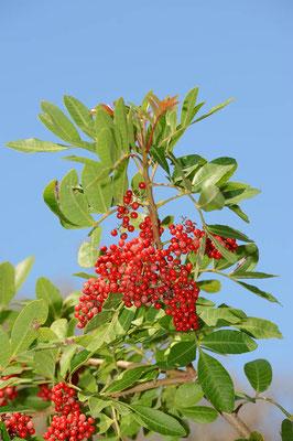 Brasilianischer Pfefferbaum (Schinus terebinthifolius) / ch069879