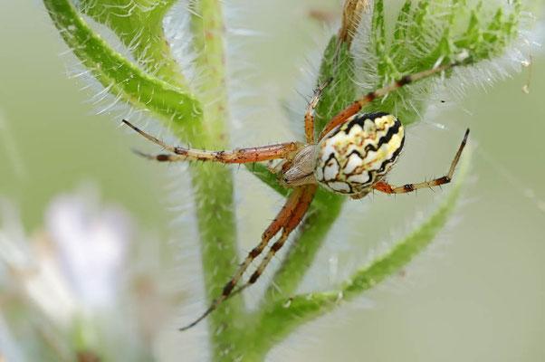 Heideradspinne (Neoscona adianta) / ch075012