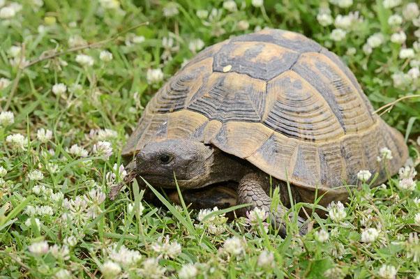 Griechische Landschildkröte (Testudo hermanni boettgeri) / ch074945