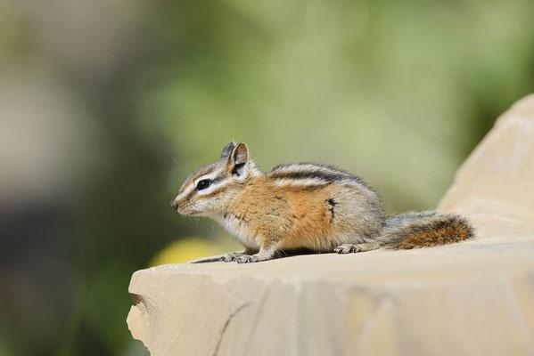 Kleines Streifenhörnchen (Tamias minimus, Neotamias minimus) / ch160305