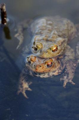 Erdkröte (Bufo bufo) / ch106158