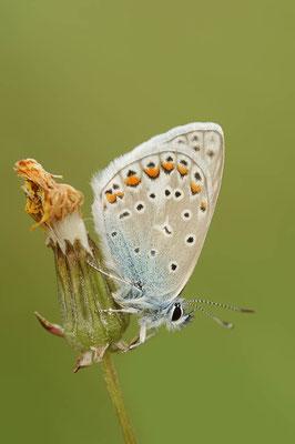 Hauhechel-Bläuling (Polyommatus icarus) / ch109378
