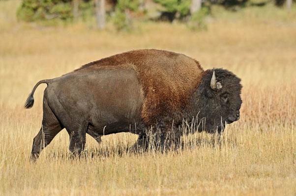 Amerikanischer Bison (Bos bison, Bison bison) / ch057838