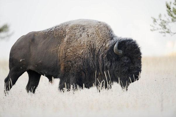 Amerikanischer Bison (Bos bison, Bison bison) / ch057746