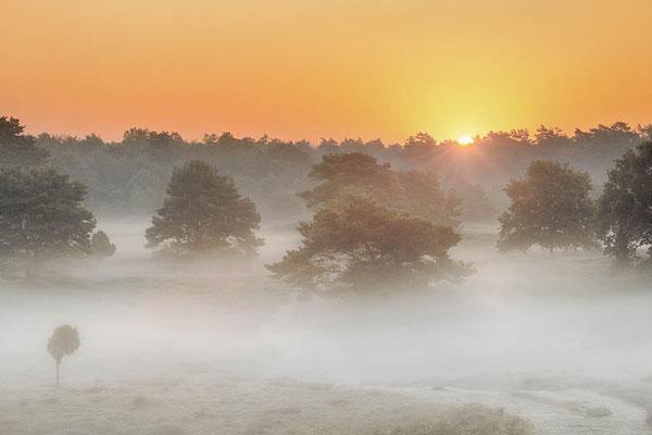 Heidelandschaft mit Kiefern im Morgennebel / chhd0012