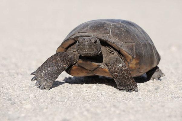 Gopherschildkröte (Gopherus polyphemus) / ch063898
