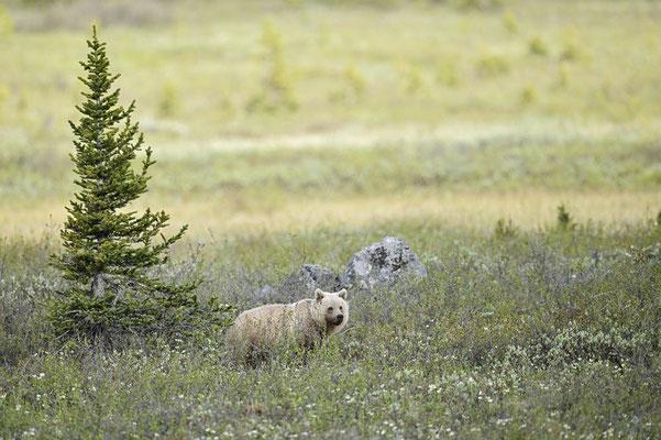 Grizzly-Bär (Ursus arctos horribilis) / ch163422