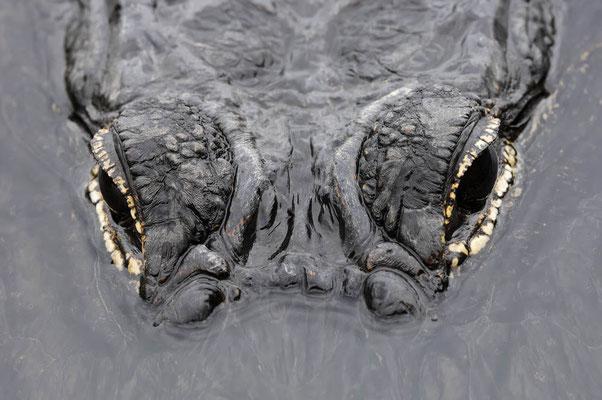 Mississippi-Alligator (Alligator mississippiensis) / ch023291