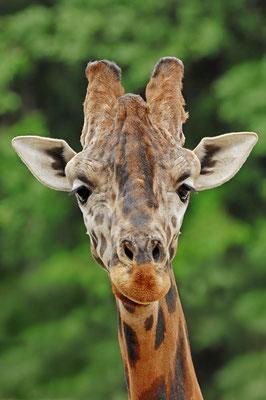 Rothschild-Giraffe (Giraffa camelopardalis rothschildi) / ch037136