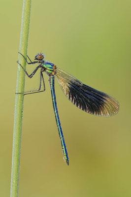 Gebänderte Prachtlibelle (Calopteryx splendens) / ch089099