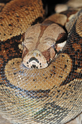 Abgottschlange, Königsboa oder Abgottboa (Boa constrictor) / ch015307