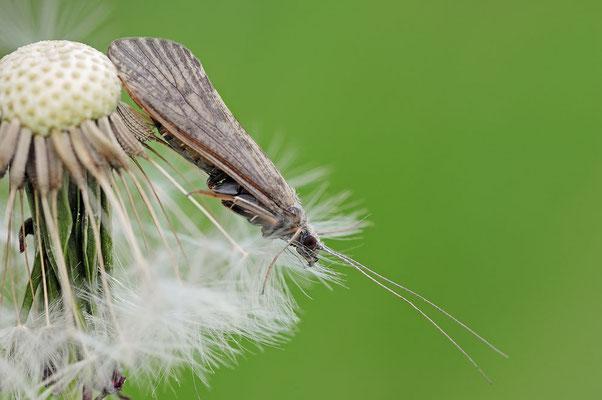 Köcherfliege (Halesus sp.) / ch053975