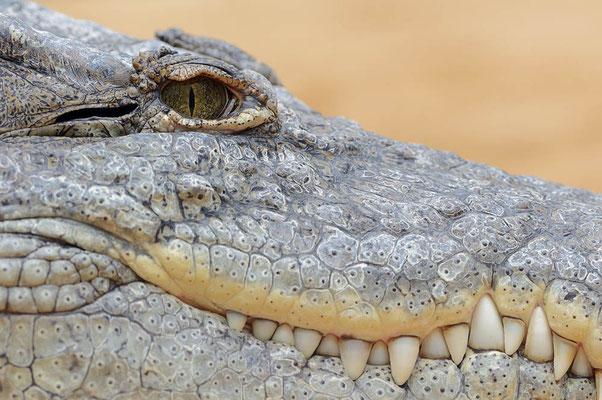 Nilkrokodil (Crocodylus niloticus) / ch113644