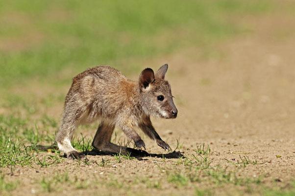 Rotnackenwallaby oder Bennettkänguru (Notamacropus rufogriseus, Macropus rufogriseus) / ch036385