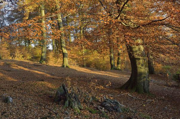 Buchenwald im Herbst, Nordrhein-Westfalen / ch165494