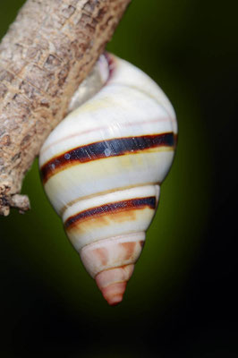 Florida-Baumschnecke (Liguus fasciatus) / ch064187