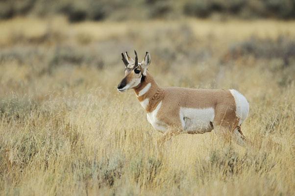 Gabelbock (Antilocapra americana) / ch057397