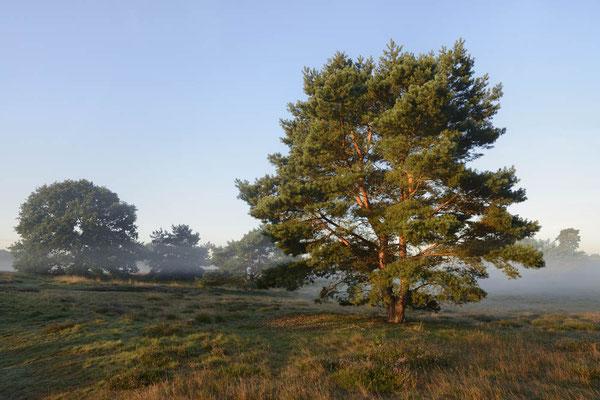 Gemeine Kiefer (Pinus sylvestris) in Heidelandschaft / ch174269