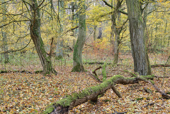 Laubwald im Herbst, Nordrhein-Westfalen / ch196904
