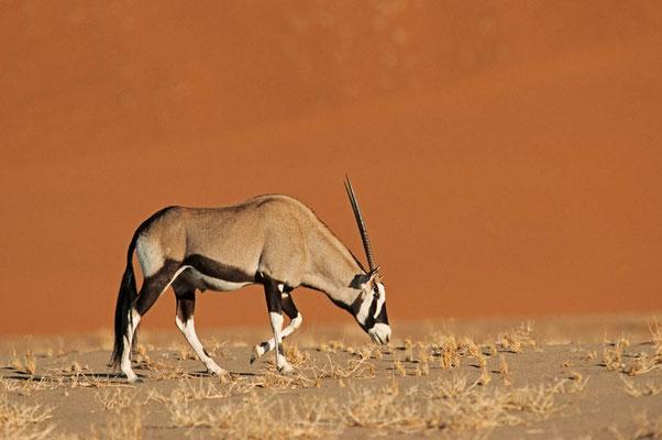 Spießbock (Oryx gazella) / chs05125