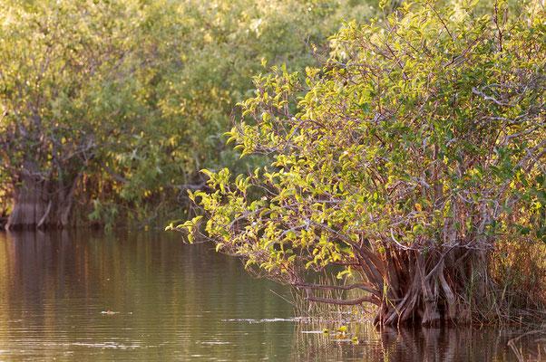 Rote Mangrove (Rhizophora mangle) / ch023511