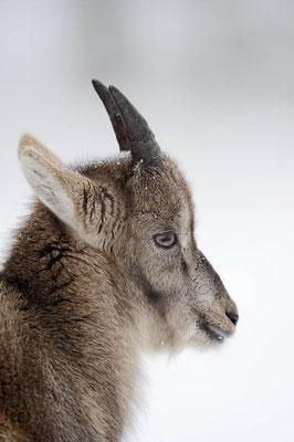 Alpensteinbock (Capra ibex) / ch104402