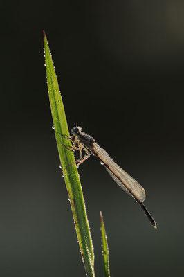 Blaue Federlibelle (Platycnemis pennipes) / ch116632