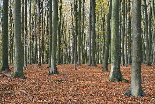 Rotbuchenwald (Fagus sylvatica) im Herbst, Nordrhein-Westfalen / ch196867