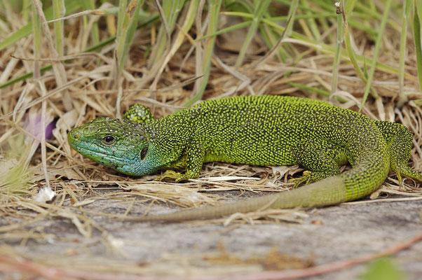 Westliche Smaragdeidechse (Lacerta bilineata) / ch053495
