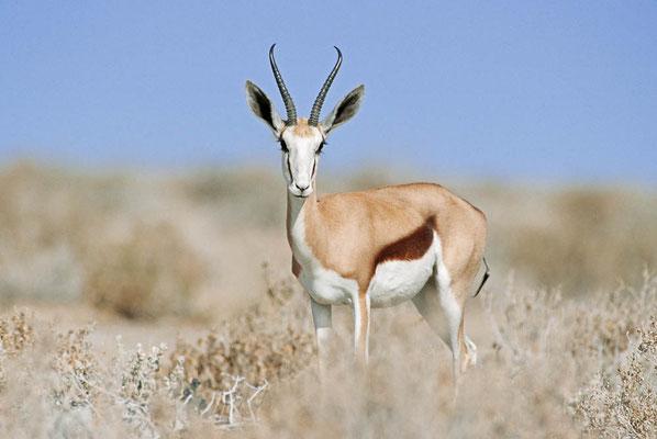 Springbock (Antidorcas marsupialis) / chs05255