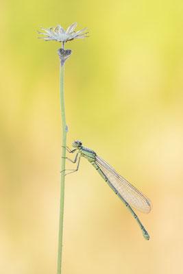 Hufeisen-Azurjungfer (Coenagrion puella) / ch190855
