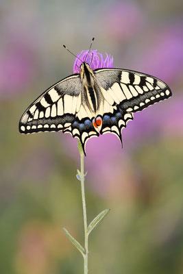 Schwalbenschwanz (Papilio machaon) / ch191043