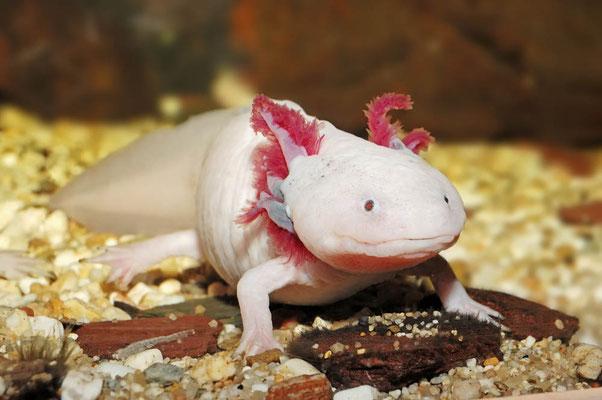 Axolotl (Ambystoma mexicanum) / ch020175