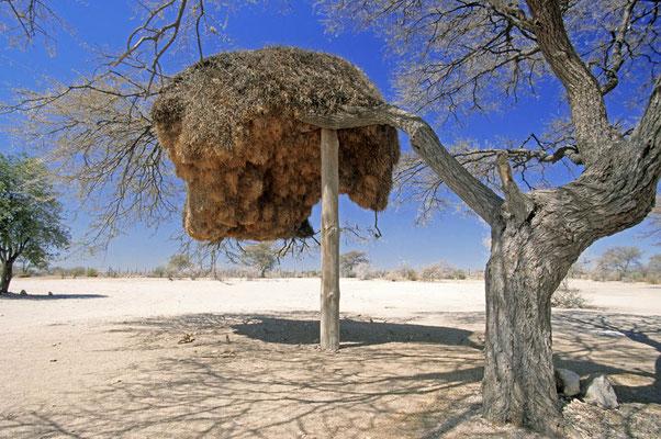 Nest einer Siedelweber-Kolonie (Philetairus socius) / chs05095