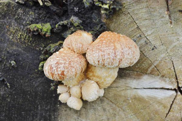 Pappel-Schüppling (Hemipholiota populnea, Pholiota destruens) / ch175987