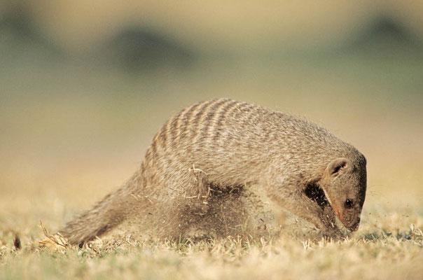 Zebramanguste (Mungos mungo) / chs05250