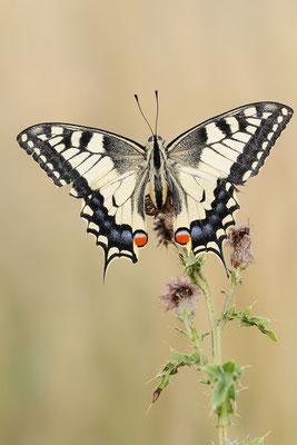 Schwalbenschwanz (Papilio machaon) / ch191097