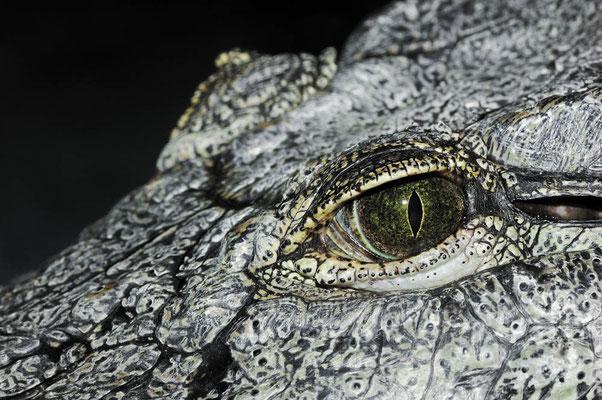 Nilkrokodil (Crocodylus niloticus) / ch048008