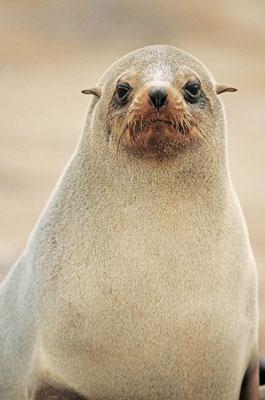 Südafrikanischer Seebär (Arctocephalus pusillus pusillus) / chs05163