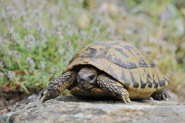 Griechische Landschildkröte (Testudo hermanni boettgeri) / ch074874