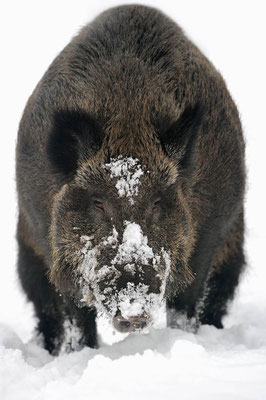 Europäisches Wildschwein (Sus scrofa scrofa) / ch104557