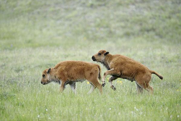Amerikanischer Bison (Bison bison) / ch160045